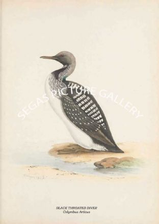 BLACK THROATED DIVER - Colymbus Articus